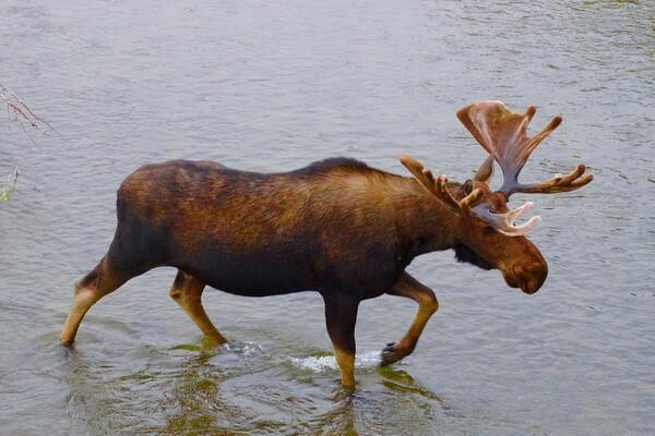 Животные штата Юта с фото и описанием - Американский лось