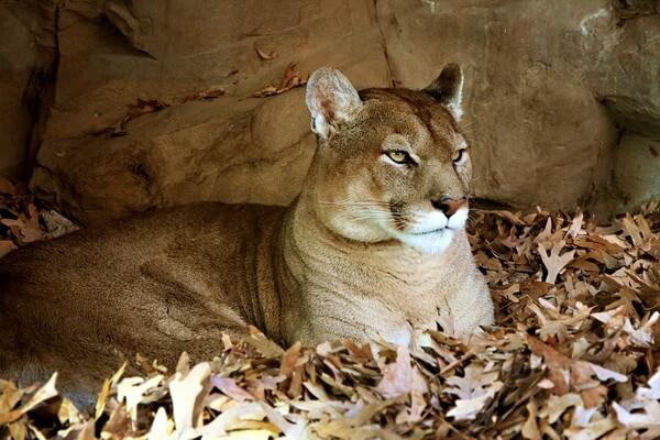 Животные штата Юта с фото и описанием - Пума
