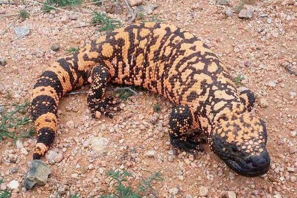 Животные штата Юта с фото и описанием - Аризонский ядозуб