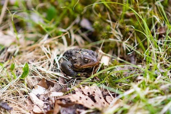 Животные штата Юта с фото и описанием - Лягушка-бык