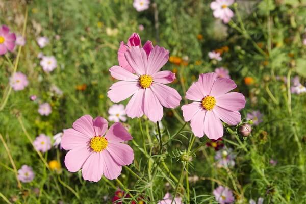 Фестивали цветов в Японии - Цветение космеи