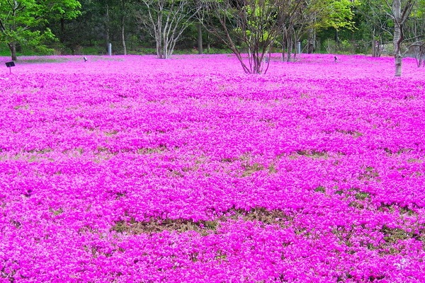 Фестиваль Фудзи Шибазакура или цветение флоксов в Японии