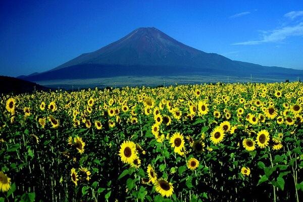Фестивали цветов в Японии - Фестиваль подсолнечников в Хокурю