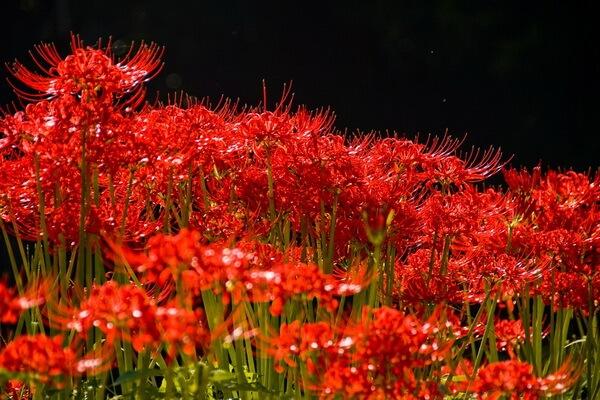 Фестивали цветов в Японии - Красная паучья лилия в Японии