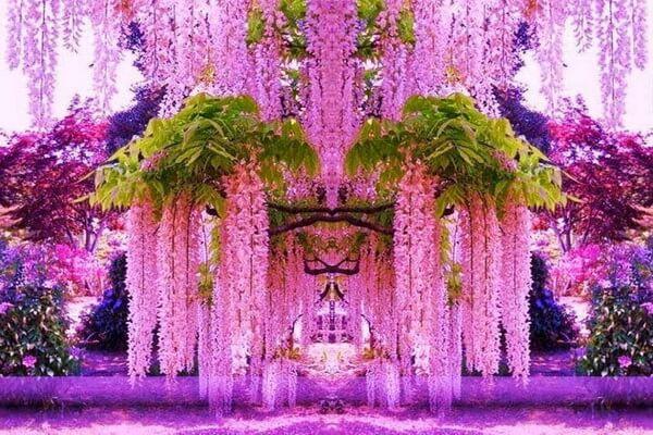 Фестивали цветов в Японии - Цветение глицинии в саду Кавати Фудзи
