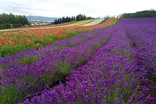 Фестивали цветов в Японии - Цветение лаванды на ферме Томита