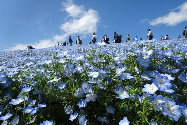 Цветочные поля Японии - Приморский парк Хитачи