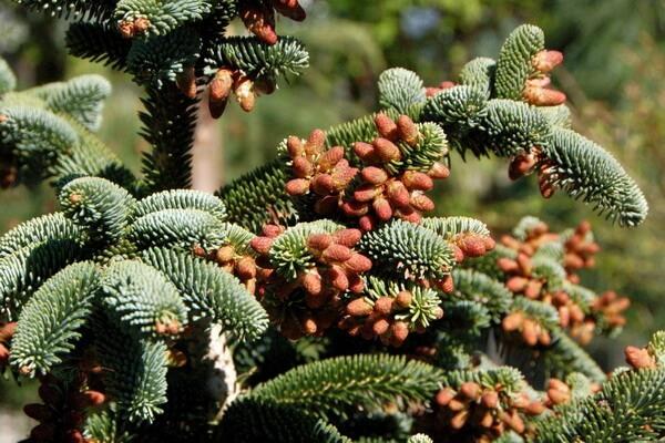Растения Алжира с фото и описанием - Алжирская или нумидийская пихта
