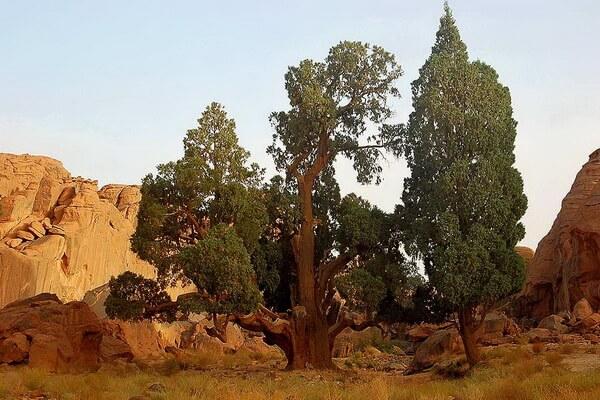 Растения Алжира с фото и описанием - Кипарис сахарский