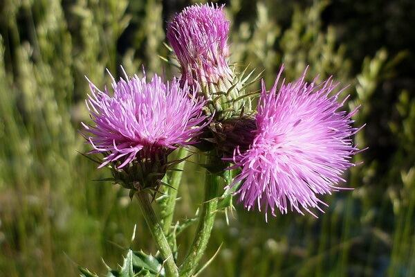 Растения Алжира с фото и описанием - Пятнистая или крылатая расторопша