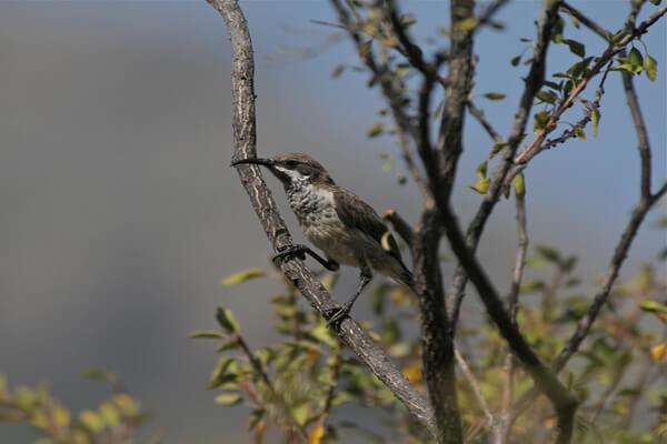 Фауна острова Сокотра - Солнечная птица Сокотры (Socotra Sunbird или Chalcomitra balfouri)