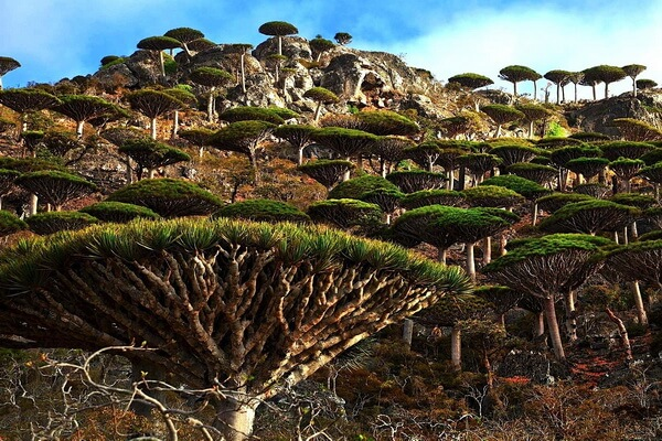 Флора острова Сокотра - Драконово дерево Сокотры