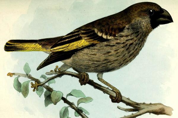 Фауна острова Сокотра - Золотокрылый вьюрок Сокотры