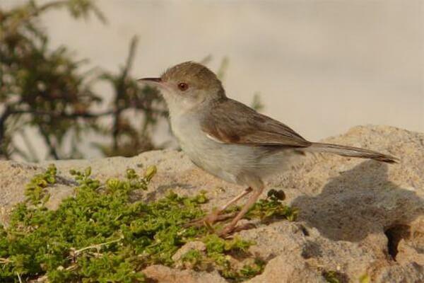 Фауна острова Сокотра - Сокотранский лесной певун (Socotra Warbler или Incana incana)