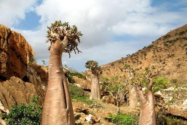 Растения острова Сокотра - Дендросициос сокотранский или огуречное дерево