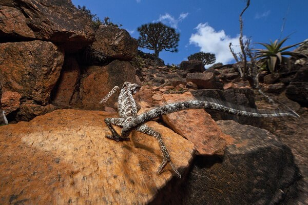 Фауна острова Сокотра - Сокотранский хамелеон или хамелеон-монах