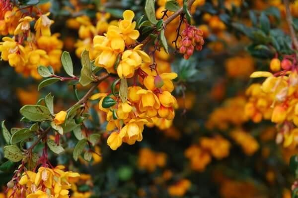 Растения Аргентины с фото и описанием - Барбарис Дарвина