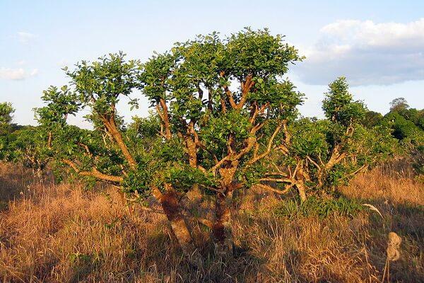 Растения Аргентины с фото и описанием - Падуб парагвайский (матэ)