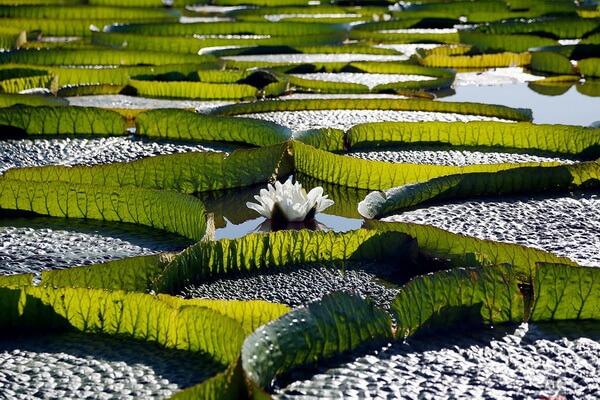 Цветы Аргентины с фото и описанием - Виктория Круса (водяная лилия Круса)