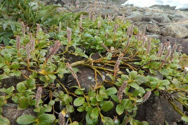 Растения Арктики с фото и описанием - Ива арктическая