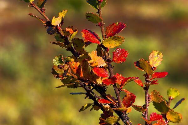 Растения Арктики с фото и описанием - Карликовая берёза