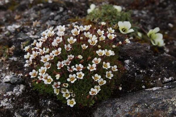 Растения Арктики с фото и описанием - Камнеломка снежная