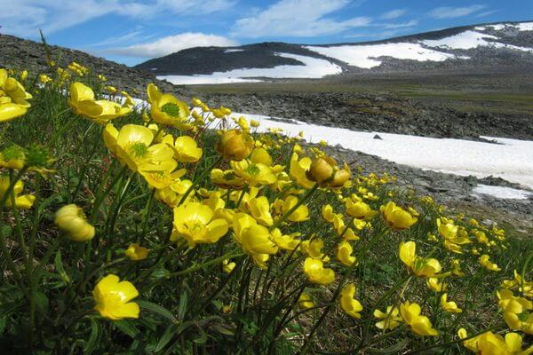 Растения Арктики с фото и описанием - Лютик арктический