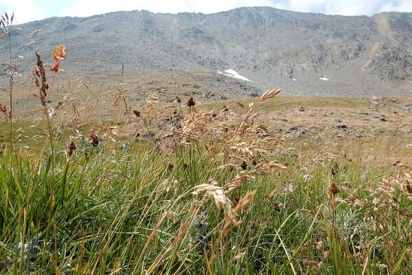 Растения Арктики с фото и описанием - Мятлик арктический