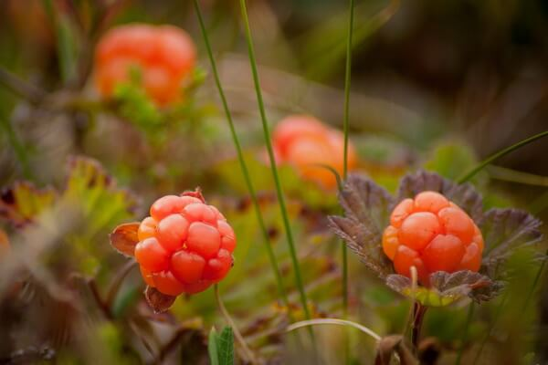 Растения Арктики с фото и описанием - Морошка