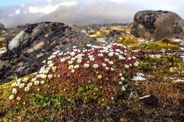 Растения Арктики - фото, названия, описание