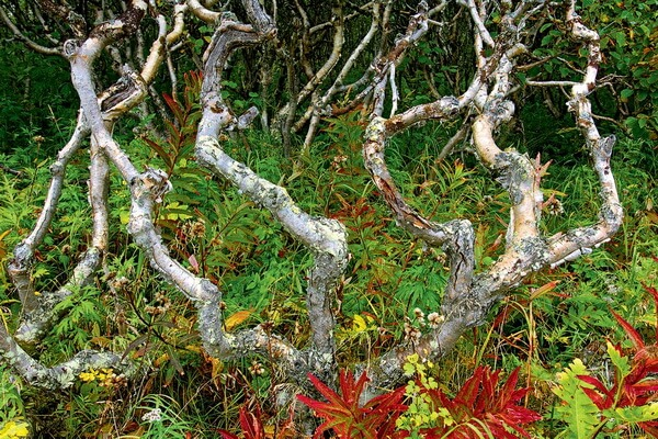 Растения Камчатки с фото и описанием - Каменная берёза