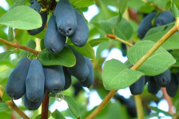 Ягоды Камчатки с фото и описанием - Жимолость синяя