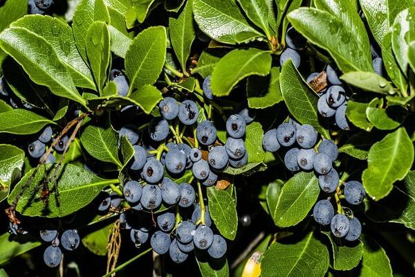Ягоды Камчатки с фото и описанием - Голубика болотная
