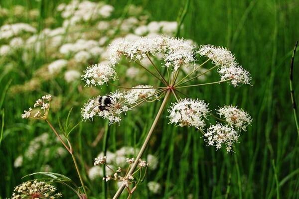 Болотные растения Камчатки с фото и описанием - Цикута