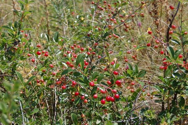 Флора Казахстана - основные растения с фото и описанием - Вишня кустарниковая или степная