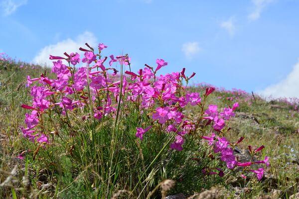 Флора Казахстана - основные растения с фото и описанием - Недзвецкия (инкарвиллея) семиреченская