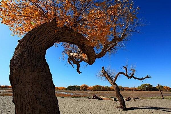 Растения Казахстана с фото и описанием - Туранга