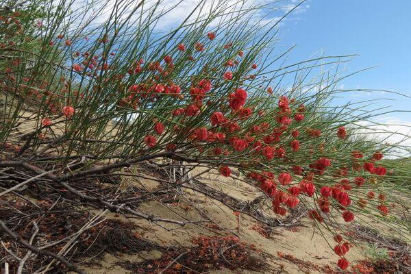 Растения Казахстана с фото и описанием - Джузгун (жузгун)