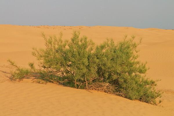 Растения Казахстана с фото и описанием - Джузгун или жузгун