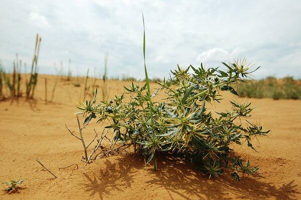 Растения Казахстана с фото и описанием - Верблюжья колючка