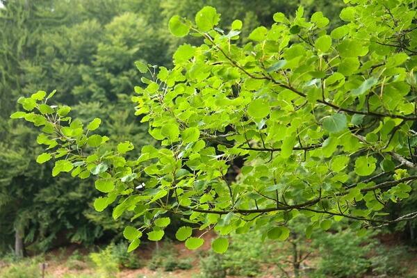 Растения Казахстана с фото и описанием - Осина или тополь дрожащий