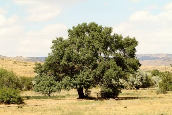 Растения Казахстана с фото и описанием - Ясень согдийский
