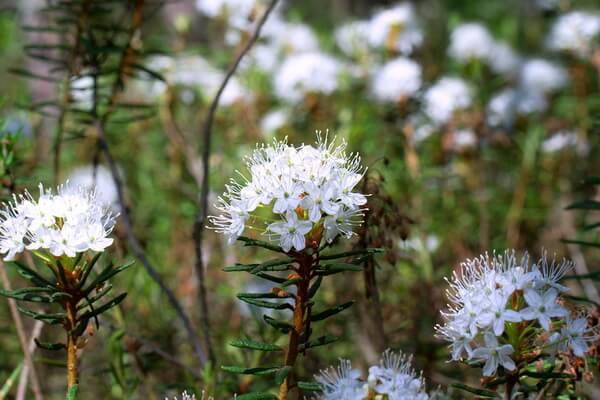 Растения Казахстана с фото и описанием - Багульник болотный