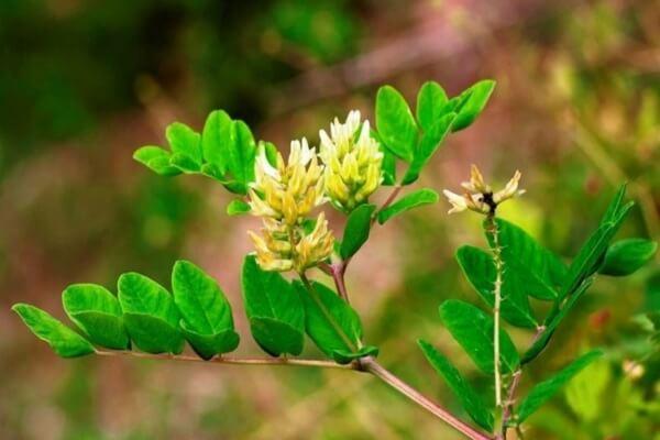 Растения Казахстана с фото и описанием - Астрагал солодколистный