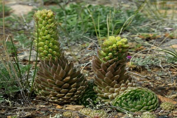 Растения Казахстана с фото и описанием - Горноколосник