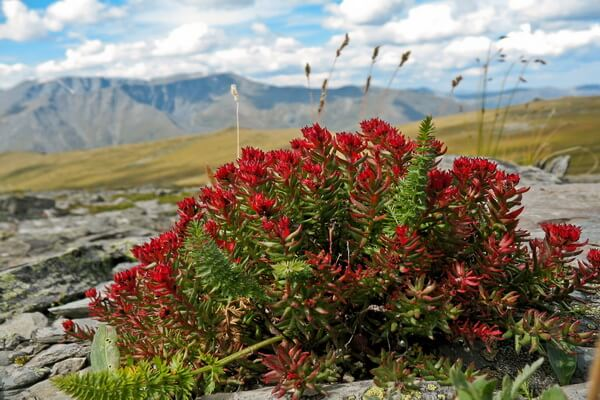 Растения Казахстана с фото и описанием - Родиола розовая