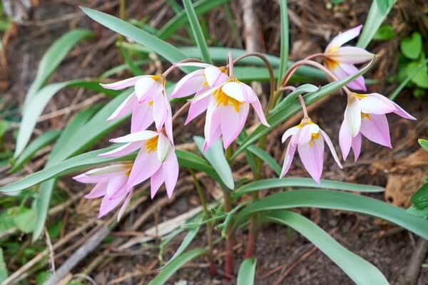 Растения Казахстана с фото и описанием - Тюльпан поникающий