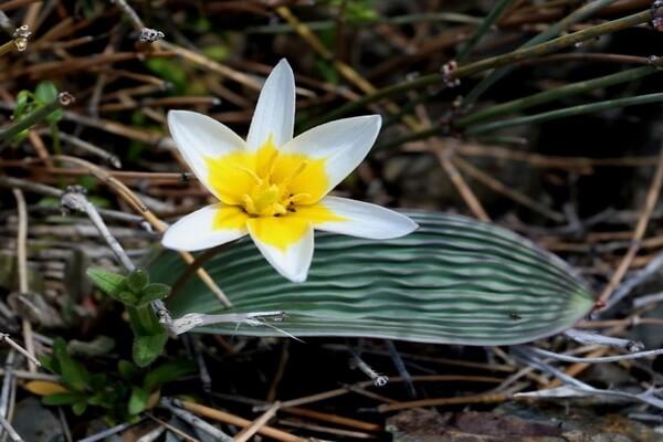 Растения Казахстана с фото и описанием - Тюльпан Регеля