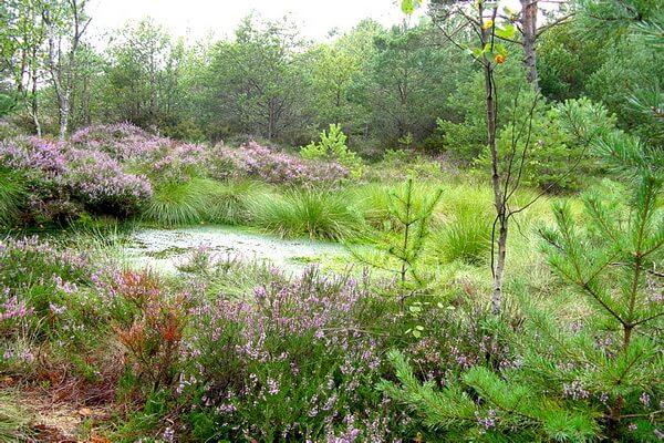 Флора болот Куршской косы