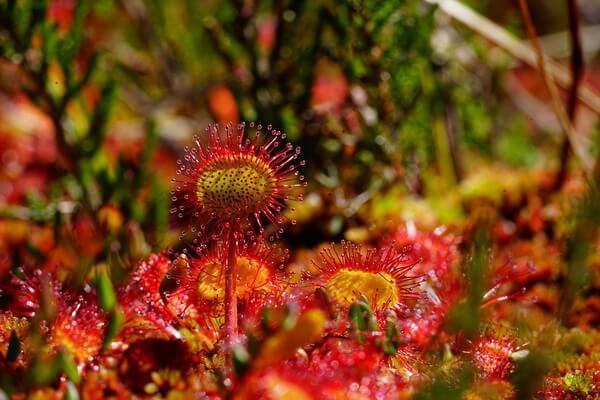 Растения Куршской косы - Росянка